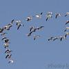 Snow Geese<br /> Riverlands Migratory Bird Sanctuary