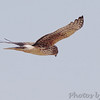 Northern Harrier<br /> Riverlands Migratory Bird Sanctuary