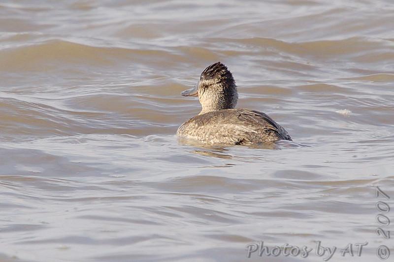 Ruddy Duck (Female)<br /> Riverlands Migratory Bird Sanctuary