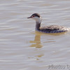 Horned Grebe<br /> Riverlands Migratory Bird Sanctuary