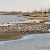 American White Pelican & gulls<br /> Riverlands Migratory Bird Sanctuary
