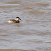 Ruddy Duck (Male)<br /> Riverlands Migratory Bird Sanctuary <br /> <br /> No. 160 on my Lifetime List of Bird Species <br /> Photographed in Missouri.