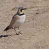 Horned Lark<br /> Riverlands Migratory Bird Sanctuary