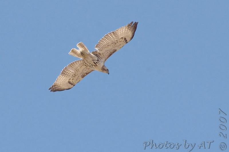 Red-tailed Hawk<br /> Creve Coeur Marsh