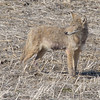 Coyote<br /> Creve Coeur Lake