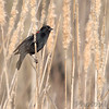 Red-winged Blackbird<br /> Creve Coeur Marsh