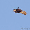Red-tailed Hawk<br /> Creve Coeur Marsh
