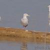 Herring Gulls and Ring-billed Gulls<br /> Riverlands Migratory Bird Sanctuary