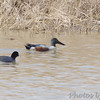 Northern Shoveler and American Coot <br /> Columbia Bottoms CA <br /> <br /> Northern Shoveler is No. 161 on my Lifetime <br /> List of Bird Species Photographed in Missouri.