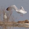 Herring Gull<br /> Riverlands Migratory Bird Sanctuary