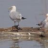 Herring Gull and Ring-billed Gulls<br /> Riverlands Migratory Bird Sanctuary