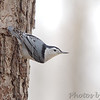 White-breasted Nuthatch <br /> Busch Wildlife Conservation Area