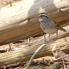 White-throated Sparrow <br /> Busch Wildlife Conservation Area