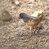 Eastern Towhee <br /> Busch Wildlife Conservation Area