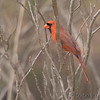 Northern Cardinal <br /> Busch Wildlife Conservation Area