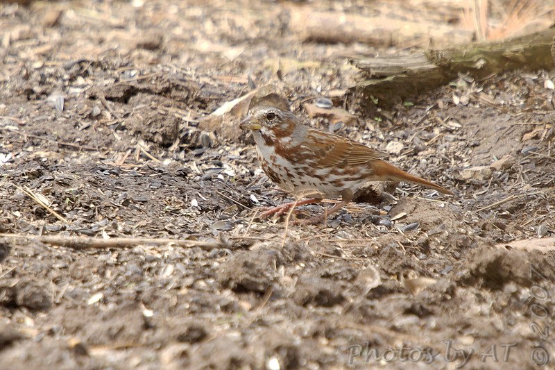 Fox Sparrow <br /> Busch Wildlife Conservation Area