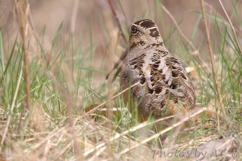 American Woodcock <br /> Busch Wildlife Conservation Area