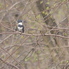 Belted Kingfisher<br /> St. Stanislaus Conservation Area<br /> 3-25-07