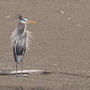 Great Blue Heron<br /> havin' a bad hair day!<br /> Riverlands Migratory Bird Sanctuary