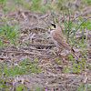 Horned Lark<br /> Columbia Bottoms CA