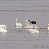 American White Pelicans<br /> Riverlands Migratory Bird Sanctuary