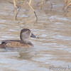 Ring-necked Duck (Female)<br /> Columbia Bottoms CA