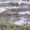 Wilson's Snipe <br /> Columbia Bottoms CA