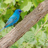 Indigo Bunting <br /> Katy Trail Parking Lot<br /> Weldon Springs CA