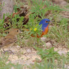 Indigo Bunting and Painted Bunting <br /> Katy Trail Parking Lot<br /> Weldon Springs CA