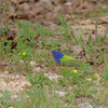 Indigo Bunting, Painted Bunting and White-crowned Sparrow <br /> Katy Trail Parking Lot<br /> Weldon Springs CA