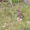 Lark Sparrow <br /> Katy Trail Parking Lot<br /> Weldon Springs CA
