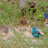 Indigo Buntings, Painted Bunting and White-crowned Sparrow <br /> Katy Trail Parking Lot<br /> Weldon Springs CA