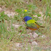 Painted Bunting <br /> Katy Trail Parking Lot<br /> Weldon Springs CA
