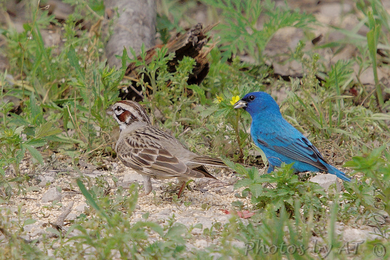 Lark Sparrow and Indigo Bunting <br /> Katy Trail Parking Lot<br /> Weldon Springs CA