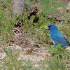Lark Sparrow and Indigo Bunting <br /> Katy Trail Parking Lot<br /> Weldon Springs CA