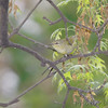 Tennessee Warbler <br /> City of Bridgeton <br /> St. Louis County, Missouri <br /> 2007-05-02
