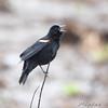 Red-winged Blackbird <br /> Riverlands Migratory Bird Sanctuary