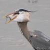 Great Blue Heron <br /> Riverlands Migratory Bird Sanctuary