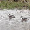 Horned Grebe <br /> Riverlands Migratory Bird Sanctuary