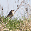 Eastern Phoebe <br /> Peruque Creek Road (St. Charles Co.)