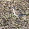American Golden-Plover <br /> Firma Road (St. Charles Co.)