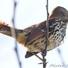 Brown Thrasher <br /> Firma Road (St. Charles Co.)