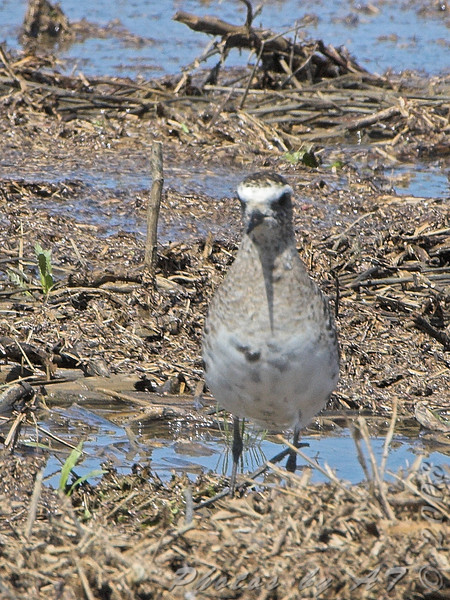 American Golden-Plover <br /> Firma Road (St. Charles Co.) <br /> 2008-04-07<br /> <br /> No. 186 on my Lifetime List of Bird Species <br /> Photographed in Missouri
