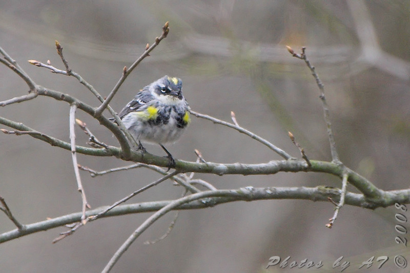 Yellow-rumped Warbler <br /> Route 66 State Park