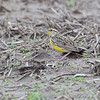 Eastern Meadowlark <br /> Creve Couer Bottoms