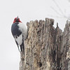 Red-headed Woodpecker <br /> Route 66 State Park
