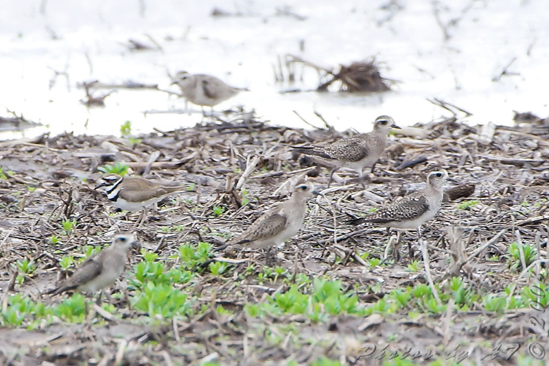 American Golden Plovers and Killdeer<br /> Creve Couer Bottoms