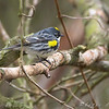 Yellow-rumped Warbler (Myrtle's)  <br /> Lone Elk Park