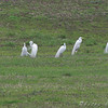 Great Egrets <br /> Creve Couer Bottoms