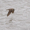 Northern Rough-winged Swallow <br /> Lone Elk Park
